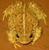 Colorado_River_Toad.jpg