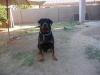 Downsized_JTs_Rottweiler.JPG