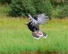 FlyTurkey1.jpg