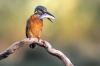 Kingfisher_II.jpg