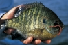 Panfish_Pete_1.jpg