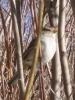 Web_bird_in_bush.jpg