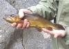 Wild_Apache_trout.JPG