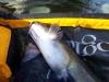 catfish1.JPG